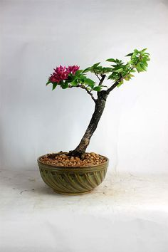 """Red Bougainvillea Bonsai tree """"Summer Tropical Collection by  by LiveBonsaiTree"""" by LiveBonsaiTree on Etsy"""