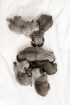 Baby Pugs on Coterie. Photo by @Heather Mildenstein