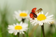 Two of my favorite things: ladybugs and daisies :D
