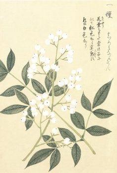 Honzo Zufu [White Berries] botanical print by Kan'en Iwasaki