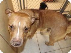 Thomaston, GA - American Pit Bull Terrier Mix. Meet Bart, a dog for adoption. http://www.adoptapet.com/pet/13625121-thomaston-georgia-american-pit-bull-terrier-mix
