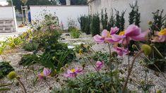 V prvom roku zakvitnutá Anemone hupehensis. Plants, Plant, Planets