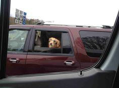 Took this pic while the car was passing by - these pet owners are pros in the pet safety department - safety goggles for dogs are perfect to protect your pup's eyes while he's enjoying some fresh air with the window rolled down.