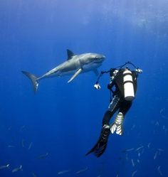 Diving with a Great White Shark