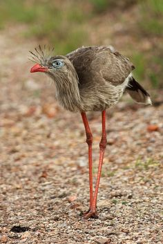 Red-legged Seriema - The seriemas are the sole living members of the small bird family Cariamidae, which is also the only surviving lineage of the order Cariamae.