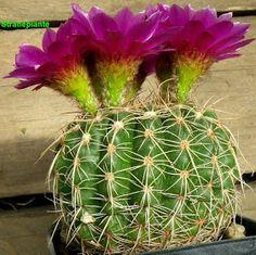 Cactus or Cacti... Cactaceae: Parodia werneri