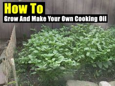 How To Grow And Make Your Own Cooking Oil - SHTF, Emergency Preparedness, Survival Prepping, Homesteading