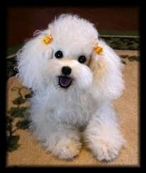 """A white miniature poodle was wagging its tiny tail. """"This is Irma La Deuce,"""" Holly said. """"I had her before we got married."""" Holly hugged her pet and rubbed its clipped fur on her cheek. """"I took her to the grooming shop so she'd look good for you."""" from Beyond the Tears: A True Survivor's Story by Lynn C. Tolson, Chapter Cliches and Confucius"""
