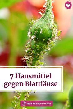 7 Hausmittel, gegen Blattläuse Aphids can cause considerable damage to your plant. We'll tell you how you can fight the annoying pests without any chemistry. # blattläuse # pflanzenschädling Balcony Garden, Indoor Garden, Indoor Plants, Plant Pests, Backyard Vegetable Gardens, Backyard Sheds, Home Remedies, Gardening Tips, House Plants