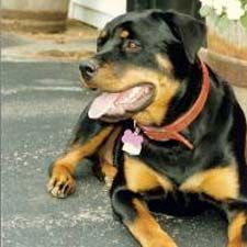 our other high energy baby-Phoebe. Rottweiler Info, Rottweiler Pictures, All Gods Creatures, High Energy, Big Black, Dog Breeds, Best Friends, Rottweilers, Pets
