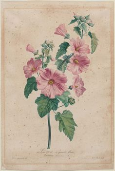 'Lavatere a grandes fleurs' (Rose Mallow) circa 1800. Hand-coloured engraving after Gerard van Spaendonck (1746–1822), Louis Charles Ruotte (1754–about 1806 ).Image and text courtesy MFA Boston.