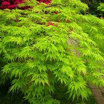 Javor japonský Emerald Lace 30/60 cm, v črepníku Acer palmatum Emerald Lace