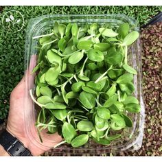 """Get to experience a nutty earthy flavor through our Sunflower-Shoots. The finished product. #trueleafpr #microgreens #sunflower  #farmtofork #puertorico #samples #health #healthyfoods #clean #compostable #cleaneating #foodie #vegansofig #dinner #vegetable #vegan #shoots #cheflife #fitness #greenthumb #sprouts #freshlyharvested #growsomethinggreen #gardening #eatlocal #green #delicious #locallygrown #ediblegarden"" @trueleafpr"