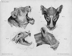 Lion_anatomy_head.jpg (1500×1168)