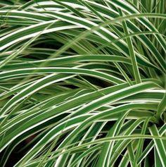 Evergreen ornamental grass Carex 'Everest'