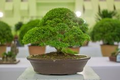 13 Types of Bonsai Trees (by Style and Shape Plus Pictures) Bonsai Tree Types, Bonsai Tree Care, Indoor Bonsai Tree, Indoor Trees, Bonsai Trees, Tree Base, Miniature Trees, Tree Seeds, Replant