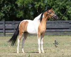 miniature horses   RFM Scouts Dysco Dancer