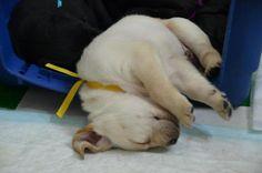 Baby Guide Dog   --------------------    from : Anita Lin's album http://www.facebook.com/media/set/?set=a.416777378336755.117840.100000134907308=3