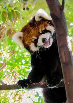 Red panda hello...
