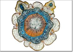 Pine Needle Micrograph. @Danika Lauderdale there's a little world inside of everything!