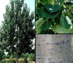 Metsähaapa - Populus tremula Garden Pots, Plant Leaves, Gardens, Plants, Shrub, Garden Planters, Outdoor Gardens, Garden, House Gardens