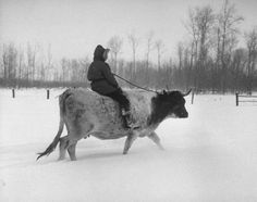 How to Train a Cow to be Ridden. I really wanna do this with my dairy steer.