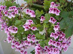 gitanilla - planta colgante