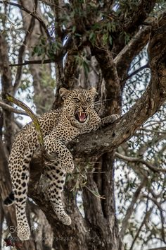 leopard on tree by nisthi via http://ift.tt/2dgNOdb