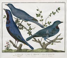 Ampolis Cotinga from F. N. Martinet & A. B. Brisson Bird Prints