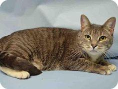 Brooklyn, NY - Domestic Shorthair. Meet MARSHMALLOW, a cat for adoption. http://www.adoptapet.com/pet/17859612-brooklyn-new-york-cat