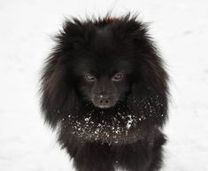 Portrait of the dark brown Pomeranian Pomeranian, Small Dogs, Snow, German Spitz, Little Dogs, Pomeranians, Pug Dogs, Puppys, Eyes