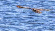 Eurasian eagle #owl (Tringa ry)