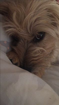 Cairn Terrier this looks like my Buddy but it's not! Chihuahua Dogs, Pet Dogs, Dogs And Puppies, Doggies, Norfolk Terrier, Norwich Terrier, Terrier Mix Dogs, Cairn Terriers, Cute Animals Images