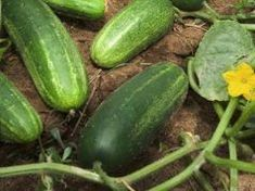 Cucumber Seeds SMR 58 (Heirloom) Cucumber is primarily water and by eating organic cucumbers is an e Cucumber Juice Benefits, Cucumber Seeds, Cucumber Plant, Grow Cucumber, Cucumber Face, Herb Garden, Lawn And Garden, Vegetable Garden, Garden Plants