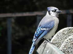 Young Bluejays at the Bx. Zoo Overlook.