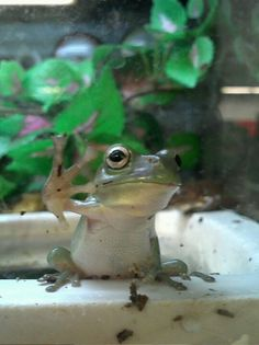 ET phone home. Amphibians, Reptiles, Whites Tree Frog, Animals And Pets, Cute Animals, Red Eyed Tree Frog, Chameleons, Frog And Toad, Tree Frogs