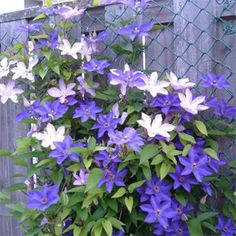 Blue Climbing Clematis, dies back in winter and comes back every year. Climbing Clematis, Buy Christmas Tree, Garden Cafe, Chelsea Flower Show, Garden Borders, Concrete Jungle, Trees To Plant, Garden Furniture, Vines