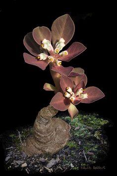 Foro de InfoJardín - Plantas y flores curiosas             monadenium globosum