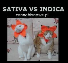 Cats Sativa Vs Indica Gif