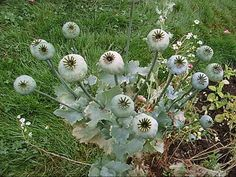 Opium Poppy - Many Pods Growing From One Single Poppy Plant | Flickr - Photo Sharing!