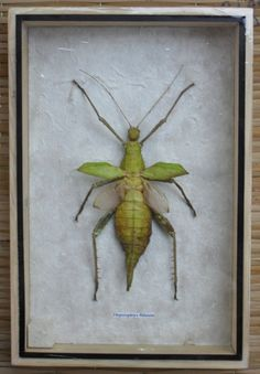 Real Insect HETEROPTEYX BILATATA Taxidermy Collection in Wood Box/MLOA