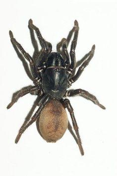 wishbone spider ( Aname ) | Flickr - Photo Sharing!