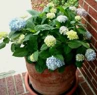 Finally a way to plant my precious hydrangeas without the risk of deer and squirrels digging them up.