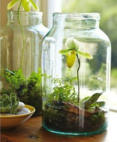 Ladyslipper and moss terrarium - wow, that looks just beautiful compared to my boring orchids in a pot.