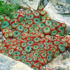 I love this! Looks like a crochet blanket! Sempervivums, by the look of it.