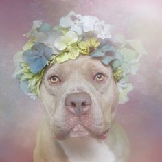 'Flower Power', A Photo Series That Shows the Softer Side of Pit Bulls In Soft Light and Floral Halos