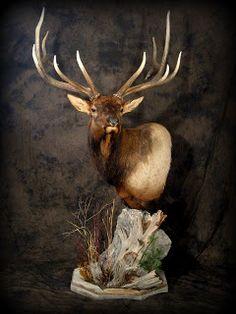 Taxidermy by Josh Hunt: Elk You are in the right place about Hunting Room work bench Here we offer y Taxidermy Decor, Taxidermy Display, Deer Mount Decor, Hunting Wallpaper, Deer Mounts, Wildlife Decor, Trophy Rooms, Antler Art, Mule Deer