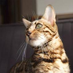 lower left  #cat #catsofinstagram #cats #catstagram #instacat #catlover #catoftheday #bengal #bengalcat #oz #ねこ #猫 #ねこ部 #ねこすたぐらむ #猫部