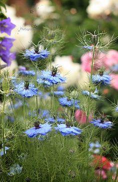 Pin By Janie Hammes On Just Annuals Beautiful Flowers Chicago Landscape Flower Garden