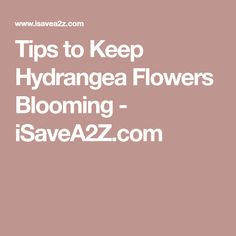 Tips to Keep Hydrangea Flowers Blooming - iSaveA2Z.com